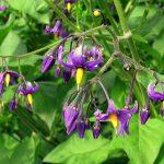 Par Pascal Blachier from Savoie, France — Morelle douce-amère (Solanum dulcamara), CC BY 2.0, https://commons.wikimedia.org/w/index.php?curid=4784273