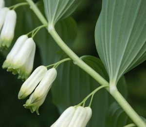 Par Randi Hausken from Bærum, Norway — Solomon's Seal, CC BY-SA 2.0, https://commons.wikimedia.org/w/index.php?curid=29876557