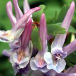 By joost j. bakker - originally posted to Flickr as Fumewort - Corydalis solida - Voorjaarshelmbloem, CC BY 2.0, https://commons.wikimedia.org/w/index.php?curid=9970959