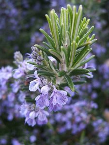 By THOR - Flowering Rosemary, CC BY 2.0, https://commons.wikimedia.org/w/index.php?curid=3258359