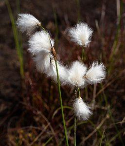 Par W.carter — Travail personnel.Cette image a été extraite d'un autre fichier: Common cottongrass in a cliff crevice.jpg, CC0, https://commons.wikimedia.org/w/index.php?curid=70187616