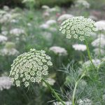 By Dwight Sipler from Stow, MA, USA - Ammi Visnaga, CC BY 2.0, https://commons.wikimedia.org/w/index.php?curid=25225795