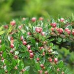 By peganum from Henfield, England - Cotoneaster horizontalis, CC BY-SA 2.0, https://commons.wikimedia.org/w/index.php?curid=37048583