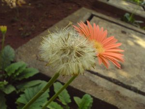 Par Dinesh Valke from Thane, India — Gerbera, CC BY-SA 2.0, https://commons.wikimedia.org/w/index.php?curid=51607471