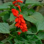 By Dinesh Valke from Thane, India - Salvia splendens, CC BY-SA 2.0, https://commons.wikimedia.org/w/index.php?curid=51606791
