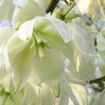 Par Maja Dumat — Yukka (Yucca filamentosa)Uploaded by berichard, CC BY 2.0, https://commons.wikimedia.org/w/index.php?curid=9779186