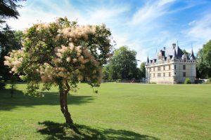 Cotynus coggygria au château d'Azay-le-Rideau©Emilie Boillot