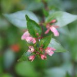Abelia grandiflora_©Emilie Boillot