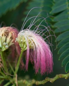 By Plant Image Library - Albizia julibrissin (Mimosa), CC BY-SA 2.0, https://commons.wikimedia.org/w/index.php?curid=55244900