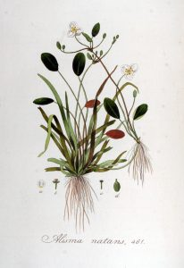https://upload.wikimedia.org/wikipedia/commons/1/17/Alisma_natans_%E2%80%94_Flora_Batava_%E2%80%94_Volume_v6.jpg