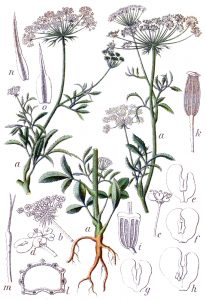 By Johann Georg Sturm (Painter: Jacob Sturm) - Figure 8 from Deutschlands Flora in Abbldungen at http://www.biolib.de, Public Domain, https://commons.wikimedia.org/w/index.php?curid=719126