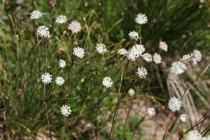 Crédit : Pmau [CC BY-SA 4.0  (https://creativecommons.org/licenses/by-sa/4.0)], from Wikimedia Commons https://commons.wikimedia.org/wiki/File:Astrantia_minor,_Areches_-_img_44648.jpg