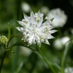 Crédit : MurielBendel [CC BY-SA 4.0  (https://creativecommons.org/licenses/by-sa/4.0)], from Wikimedia Commons https://commons.wikimedia.org/wiki/File:Astrantia_minor_flower1.jpg