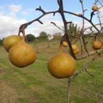 Bonne de Beugny_©Les Croqueurs de pommes® de Touraine