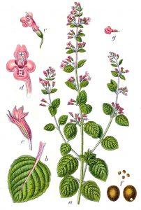 Par Johann Georg Sturm (Painter: Jacob Sturm) — Figure from Deutschlands Flora in Abbildungen at http://www.biolib.de, Domaine public, https://commons.wikimedia.org/w/index.php?curid=767484