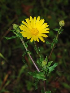 Crédit : Alvesgaspar [GFDL (https://www.gnu.org/copyleft/fdl.html) or CC BY-SA 3.0  (https://creativecommons.org/licenses/by-sa/3.0)], from Wikimedia Commons https://commons.wikimedia.org/wiki/File:Calendula_January_2008-1_filtered.jpg