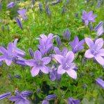 Crédit : Ghislain118 https://www.fleurs-des-montagnes.net [GFDL (https://www.gnu.org/copyleft/fdl.html) or CC BY-SA 3.0  (https://creativecommons.org/licenses/by-sa/3.0)], from Wikimedia Commons https://commons.wikimedia.org/wiki/File:Campanula_portenschlagiana_2.jpg