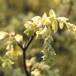 Corylopsis pauciflora en fleur_Jardin Botanique de Tours_©Emilie Boillot_IMG_1258