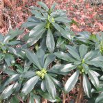 Crédit : peganum from Small Dole, England (Daphne laureola) [CC BY-SA 2.0  (https://creativecommons.org/licenses/by-sa/2.0)], via Wikimedia Commons