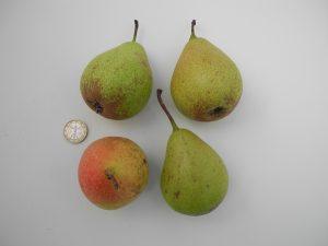 Poirier 'De Curé' ©Les Croqueurs de pommes® de Touraine