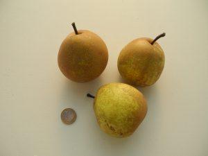 Poirier 'Duchesse de Poitiers'_©Les Croqueurs de pommes® de Touraine