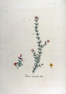 https://upload.wikimedia.org/wikipedia/commons/0/0e/Erica_cinerea_%E2%80%94_Flora_Batava_%E2%80%94_Volume_v12.jpg