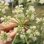Heracleum sphondylium_Fleur_©Emilie Boillot