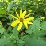 By homeredwardprice - Pale-leaved SunflowerUploaded by Epibase, CC BY 2.0, https://commons.wikimedia.org/w/index.php?curid=7318914