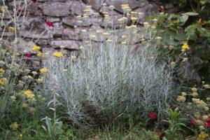 Helichrysum italicum_©Emilie Boillot_IMG_3457