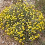 Par Ghislain118 http://www.fleurs-des-montagnes.net — Travail personnel, CC BY-SA 3.0, https://commons.wikimedia.org/w/index.php?curid=12777928