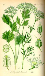https://commons.wikimedia.org/wiki/Pimpinella_anisum?uselang=fr#/media/File:Illustration_Pimpinella_anisum0.jpg