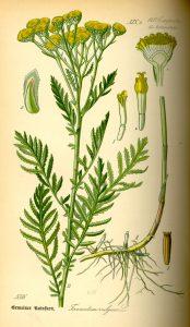 https://species.wikimedia.org/wiki/Tanacetum_vulgare#/media/File:Illustration_Tanacetum_vulgare0.jpg
