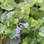 Lierre terrestre_Glechoma hederacea ©Emilie Boillot