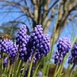 Muscari botryoide ©Emilie Boillot