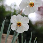 Narcisses des poetes ©Emilie Boillot