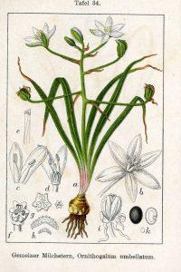 Par Johann Georg Sturm (Painter: Jacob Sturm) — Fig. from book Deutschlands Flora in Abbildungen at http://www.biolib.de, Domaine public, https://commons.wikimedia.org/w/index.php?curid=744126