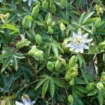 https://upload.wikimedia.org/wikipedia/commons/b/bb/Passiflora_caerulea_kz3.jpg