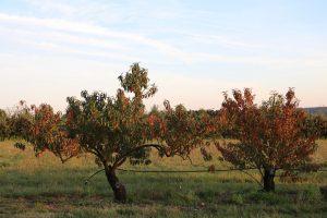 Pêcher de vigne_Azay-le-Rideau_Prunus persica ©Emilie Boillot
