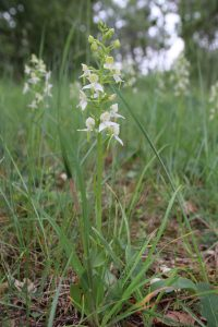 Platanthera chlorantha_©Emilie Boillot
