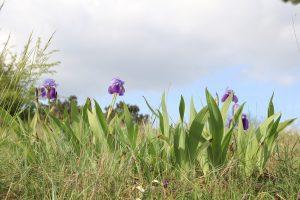 Iris germanica_Chinon_©Emilie Boillot