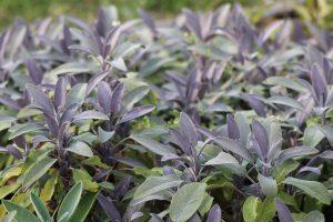 Salvia officinalis 'purpurescens' ©Emilie Boillot
