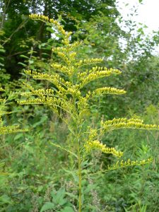 Crédit : georg slickers CC-BY SA 3.0 from https://commons.wikimedia.org/wiki/File:Solidago_canadensis_20050815_248.jpg