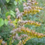 Crédit : georg slickers CC-BY SA 3.0 from https://commons.wikimedia.org/wiki/File:Solidago_canadensis_20050930_790.jpg