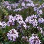 Thymus hirsutus_©Emilie Boillot