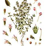 https://upload.wikimedia.org/wikipedia/commons/1/12/Thymus_vulgaris_-_K%C3%B6hler%E2%80%93s_Medizinal-Pflanzen-271.jpg