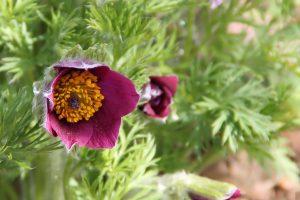 https://pixabay.com/fr/photos/pulsatille-fleur-printemps-plantes-1357980/