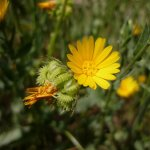 Crédit : Isidre blanc [CC BY-SA 4.0  (https://creativecommons.org/licenses/by-sa/4.0)], from Wikimedia Commons https://commons.wikimedia.org/wiki/File:CALENDULA_ARVENSIS_-AGUDA_-_IB-047_(Boixac_de_camp).JPG