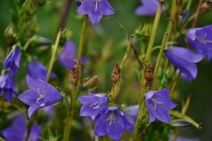 https://www.needpix.com/photo/276201/bellflower-peach-leaved-flower-spring-bell-bluebells-blue