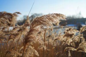 https://pixabay.com/fr/photos/gramin%C3%A9es-selloana-plantes-hiver-3944423/