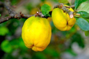 https://pixabay.com/fr/photos/coing-ornemental-fruits-bush-nature-2684072/